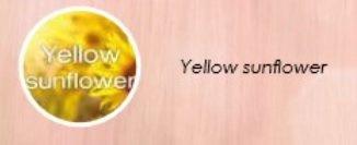 Pastel yellow sunflower